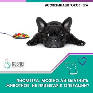 Пиометра: можно ли вылечить животное, не прибегая к операции?